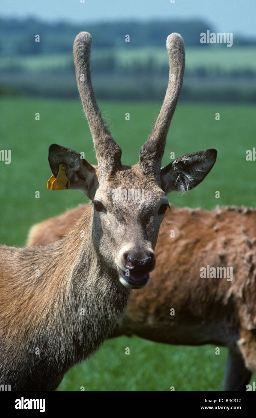 A young red deer (Cervus elaphus) stag with unpointed felt covered antlers looking at the camera - Stock Image