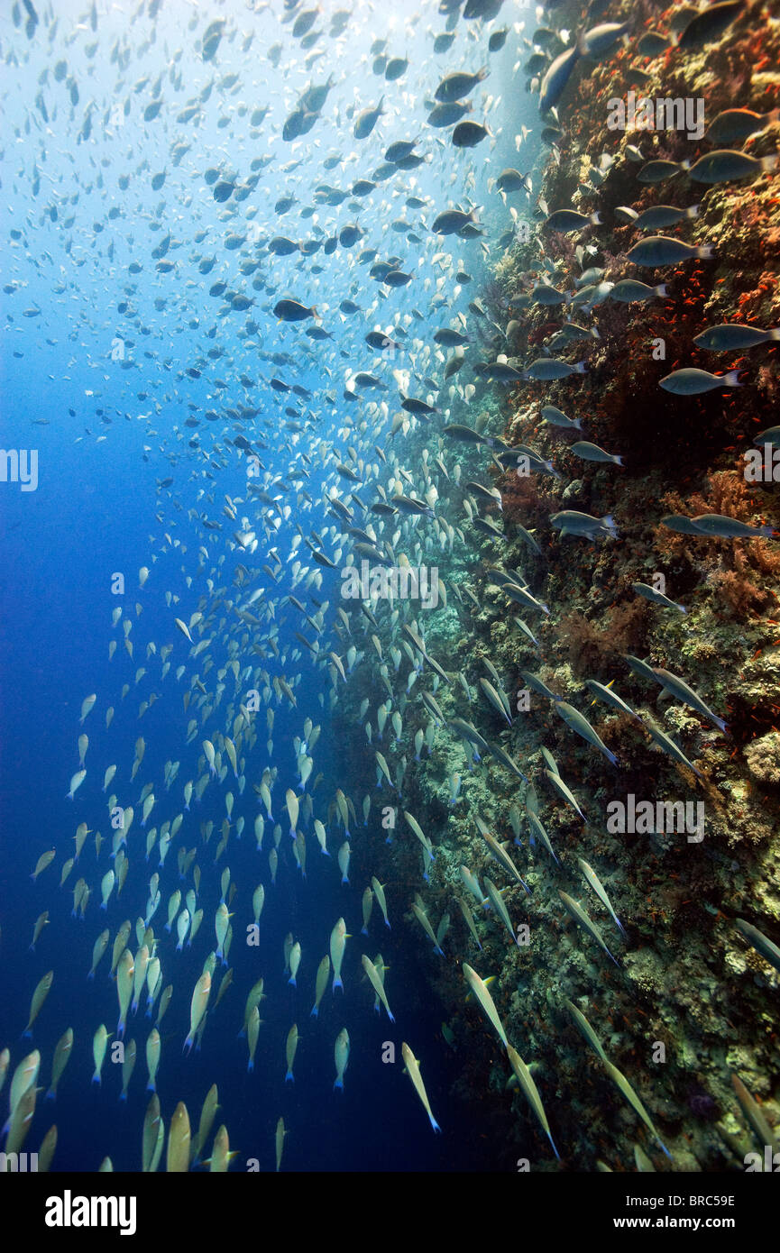 Thousands of Schooling Parrotfish  Shark Reef Ras Mohammed Red Sea - Stock Image