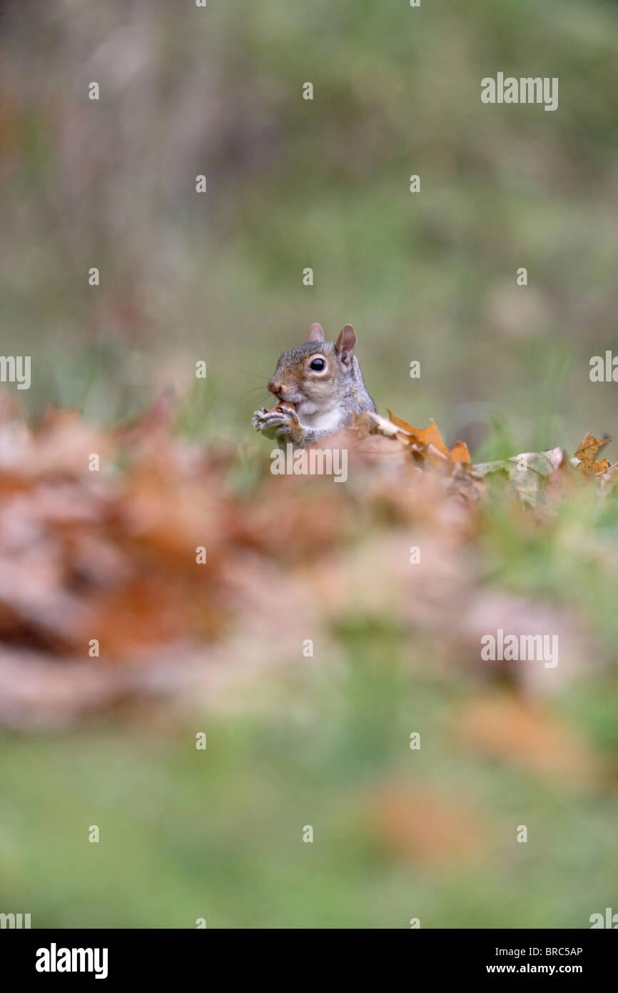 Grey squirrel (Scirus vulgaris ) in autumn leaves eating acorn - Stock Image