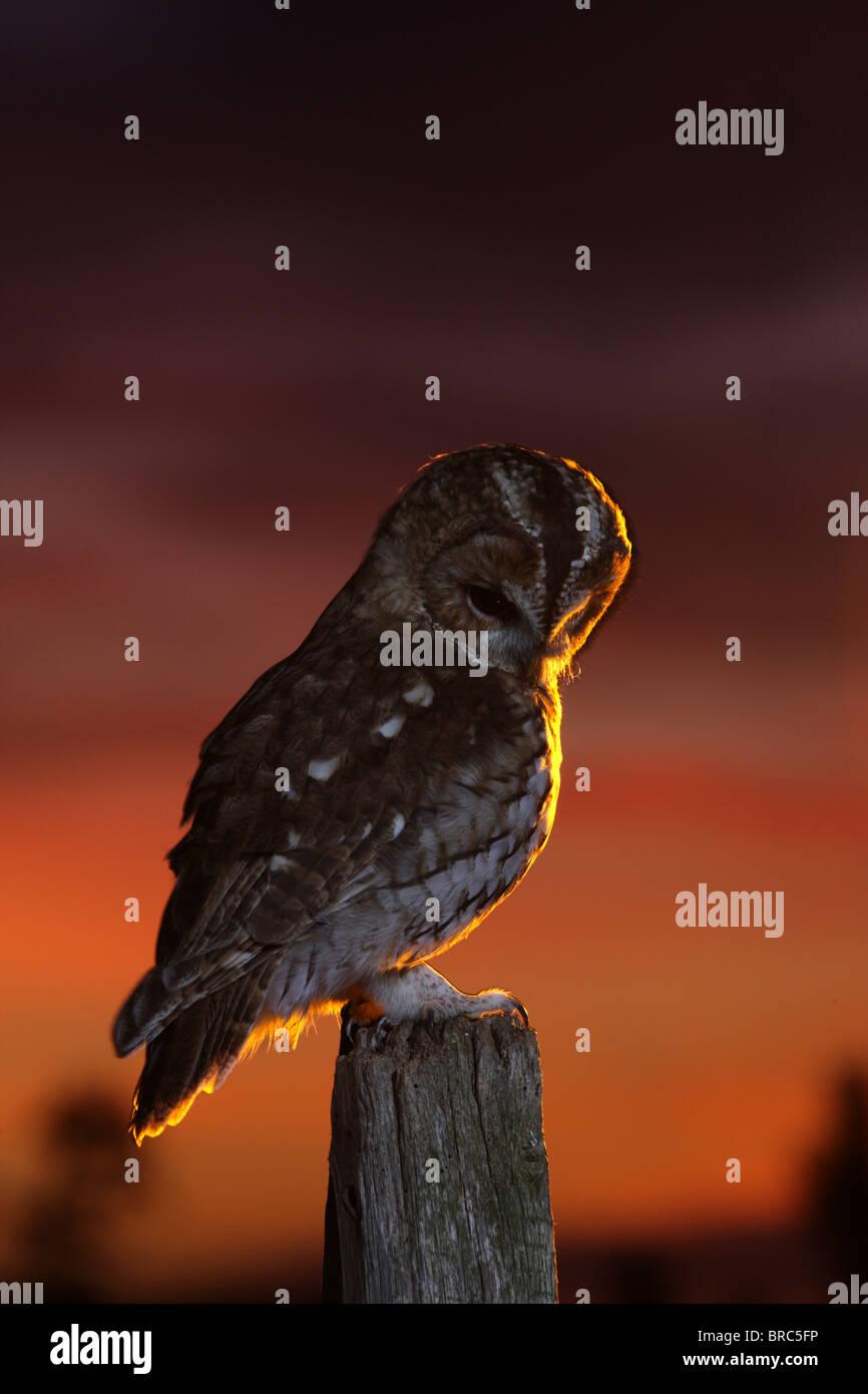 Tawny owl ( Strix aluco ) on fence post at sunset backlit - Stock Image