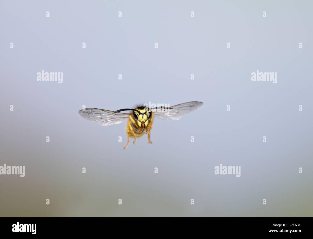 Common wasp (Vespula vulgaris ) in flight head on - Stock Image