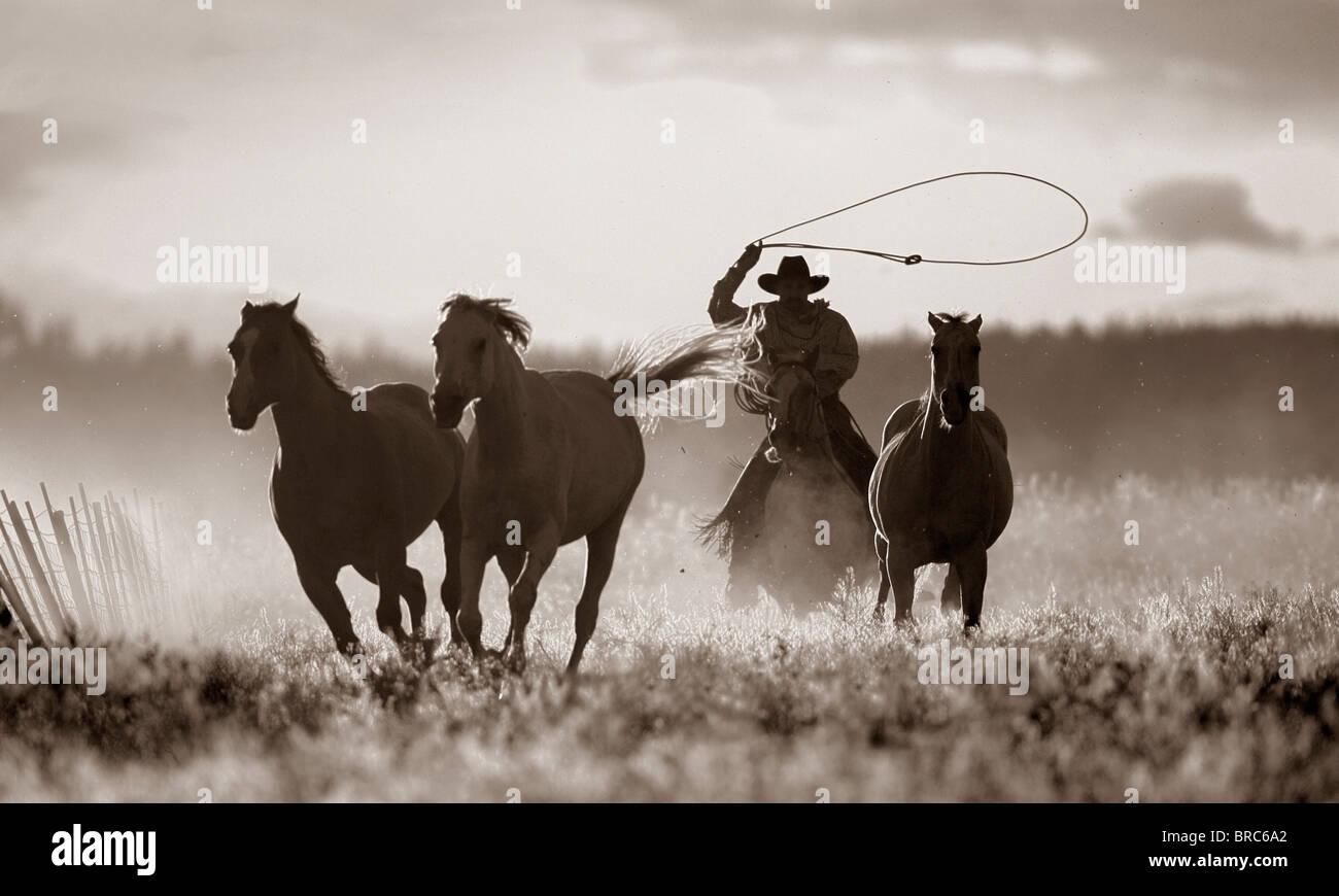 Cowboy Lassoing Horses; Senaca, Oregon, United States Of America - Stock Image