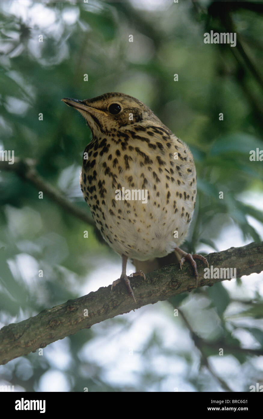 Song thrush (Turdus philomelos) on the branch of a tree - Stock Image