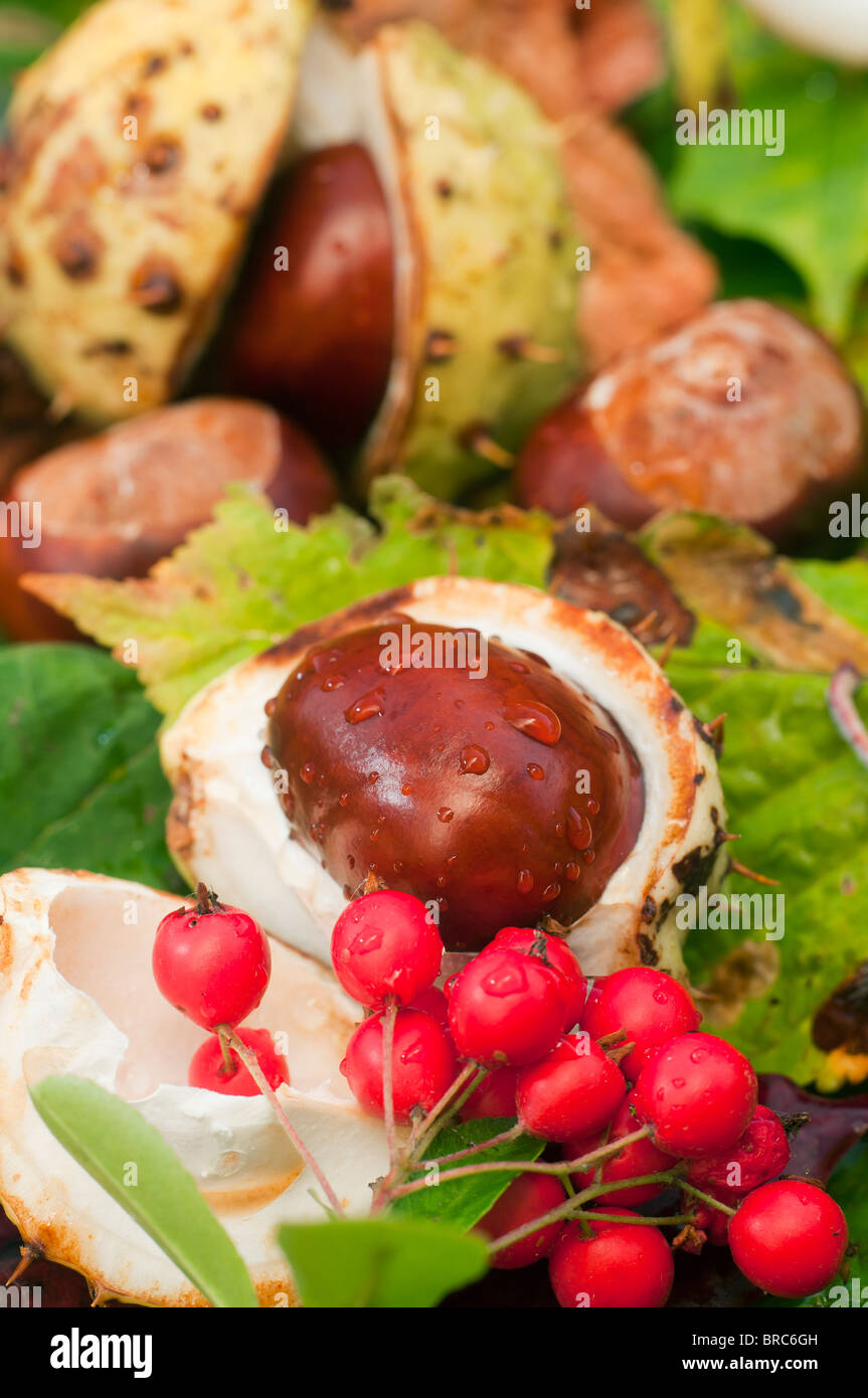 Conkers Stock Photos and Images