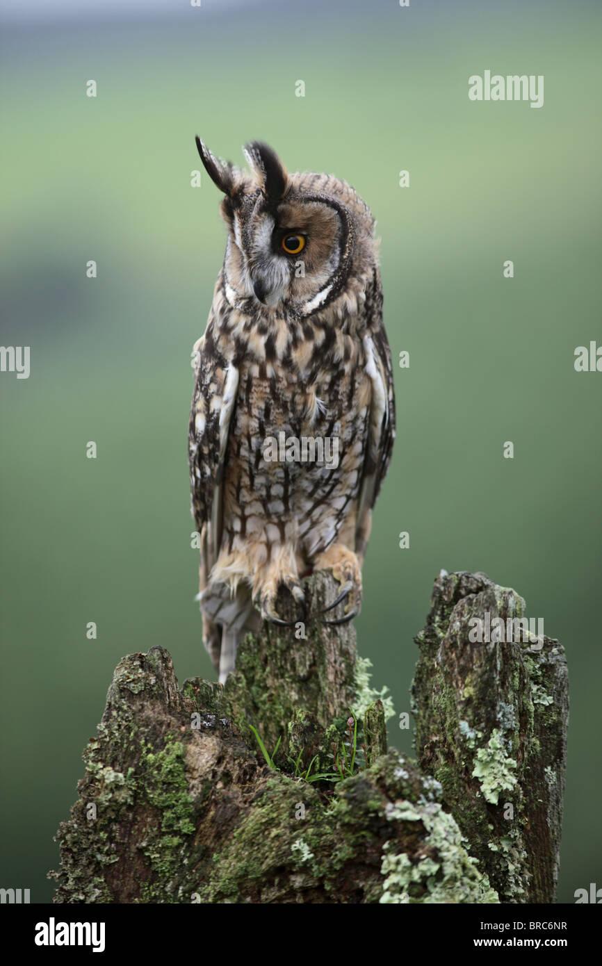 Long eared owl ( Asio otus ) Perched on stump - Stock Image