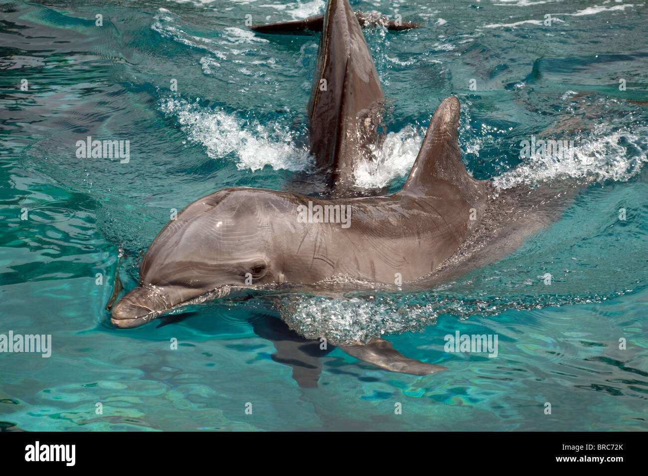 A pair of Common Bottlenose Dolphins - Stock Image