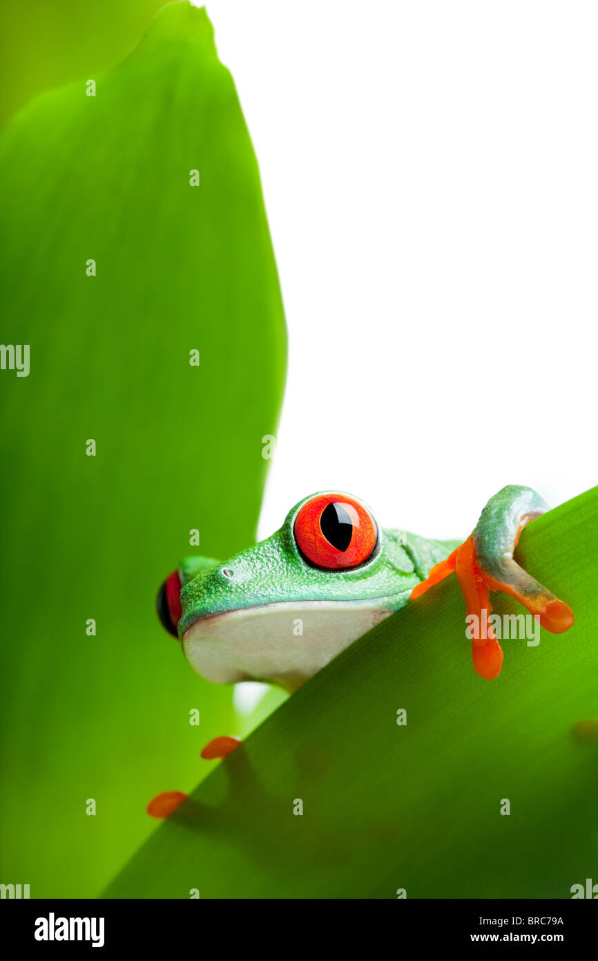frog in a plant peeking over a leaf - a red-eyed tree frog close up (Agalychnis callidryas) isolated on white - Stock Image