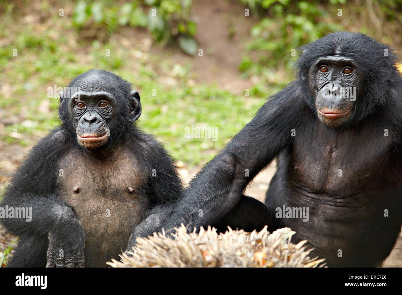 Two Bonobos (Pan paniscus), Democratic Republic of Congo, Africa - Stock Image