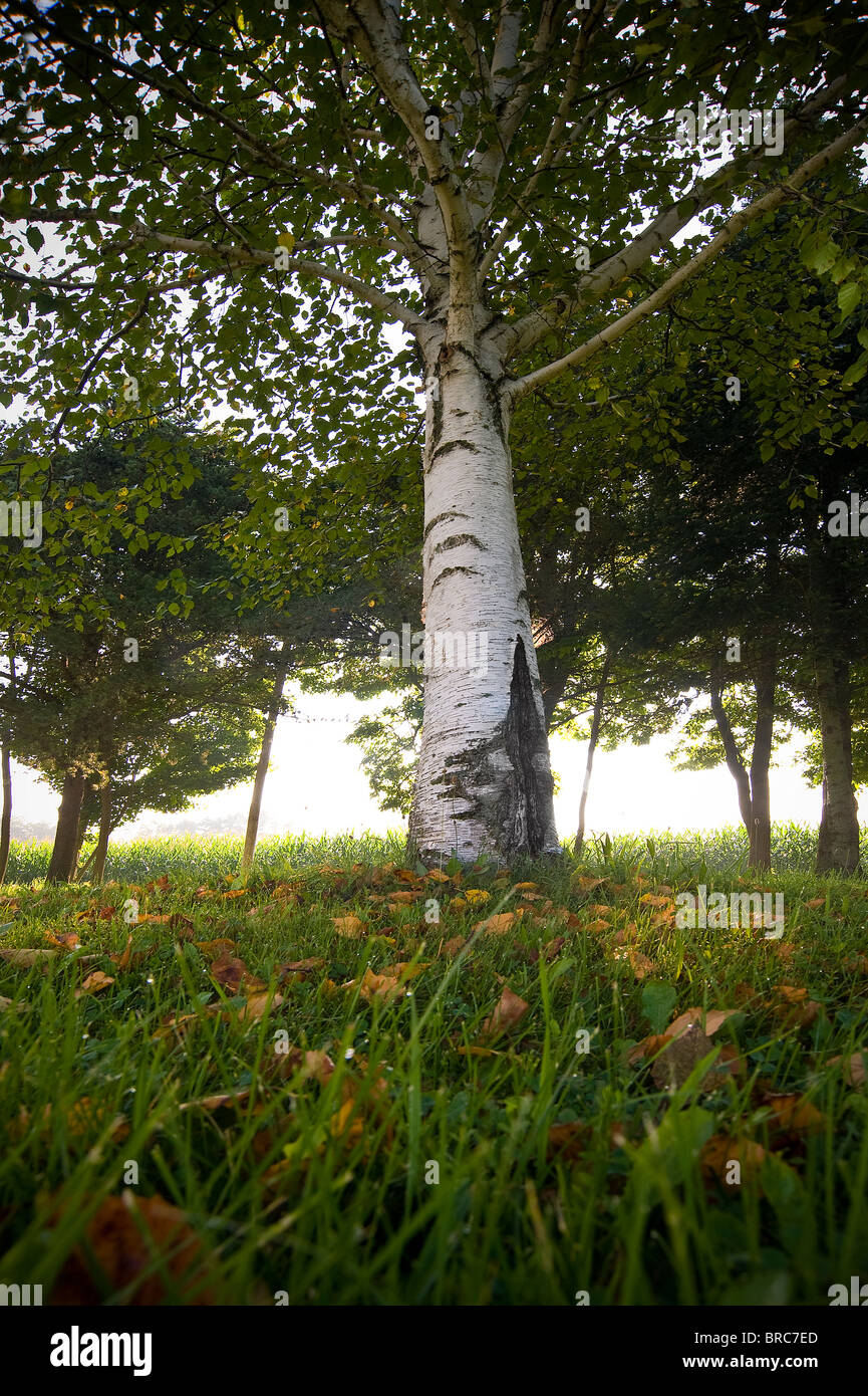 Low Angle View Of White Birch Tree, , Michigan USA - Stock Image