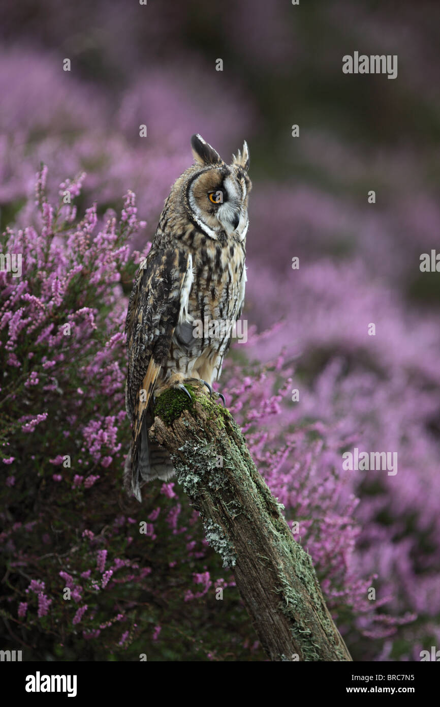 Long eared owl (Asio otus) on fence post in heather - Stock Image