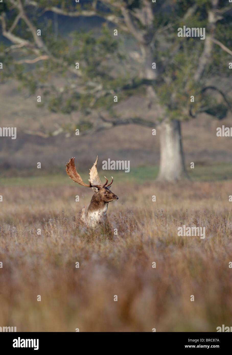 Fallow deer ( Dama dama ) Stag in morning light Stock Photo