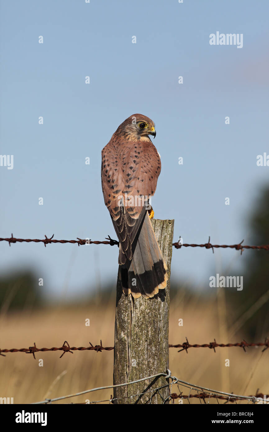 Kestrel ( Falco tinnunculus ) male on fence post Stock Photo