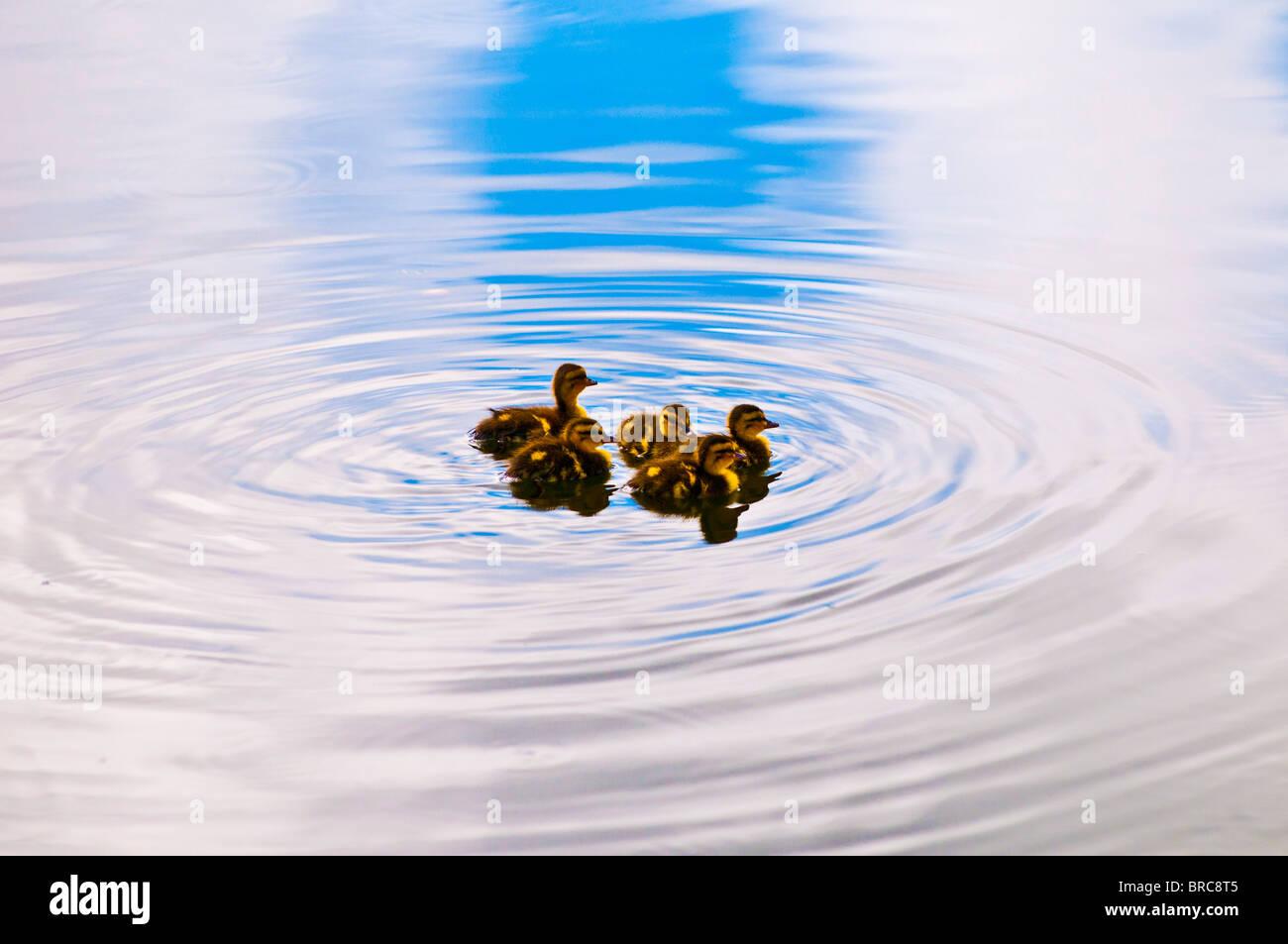 Ducklings, Kailua, Oahu, Hawaii - Stock Image
