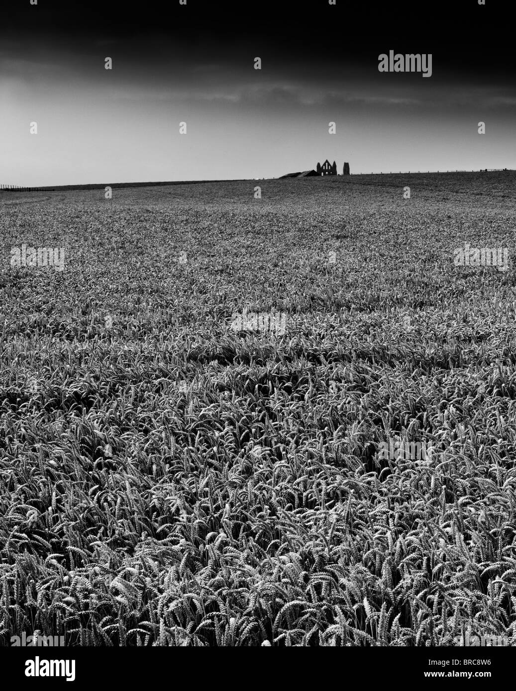 View over a wheat field with Whitby Abbey in the distance. - Stock Image