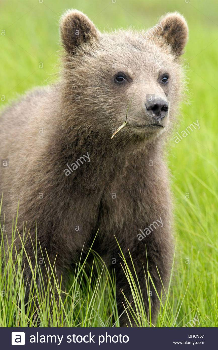 Grizzly Bear Cub in Grassy Meadow, Lake Clark National Park, Alaska - Stock Image