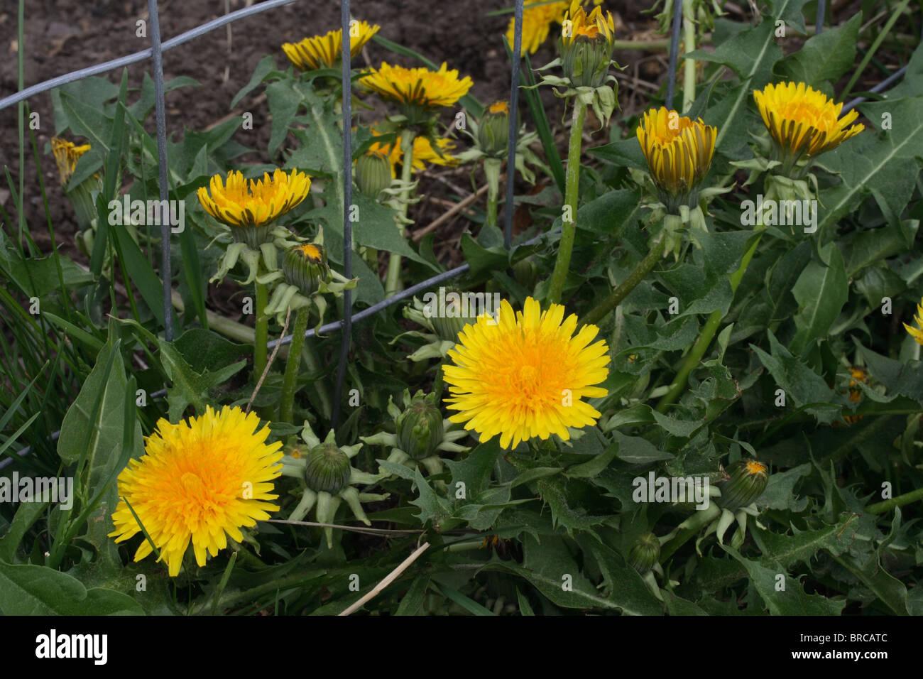 Dandelion Plant in Bloom -  Lawn Weeds - Stock Image