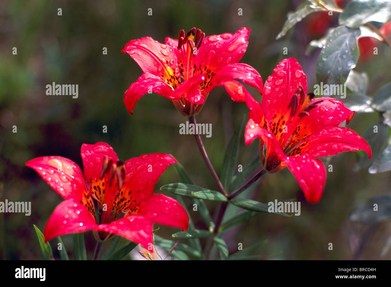 Wood Lily Lilium Philadelphicum In Bloom Red Wild Flowers Stock