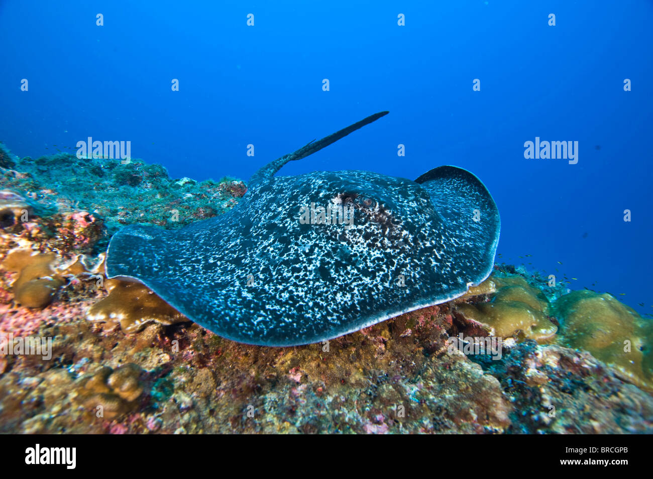 Marble Ray, Taeniura meyeni, Cocos Island, Costa Rica, East Pacific Ocean - Stock Image