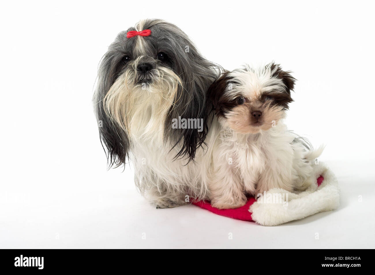 Cute Shih Tzu Dogs Sitting On A Santa Hat One Is A 1 Year Old