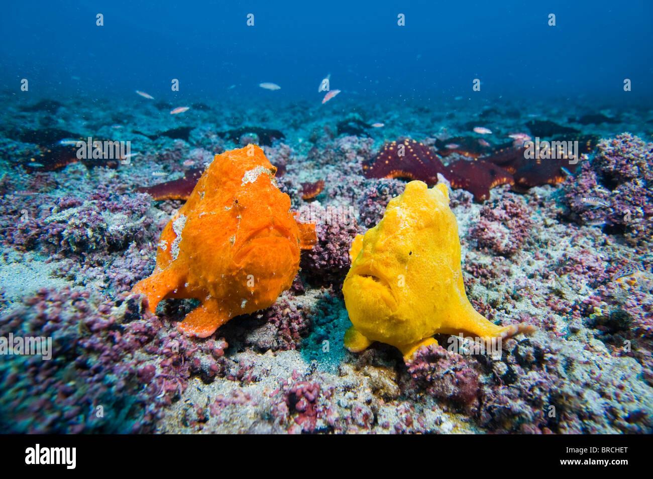 Sanguine frogfish, Antennatus sanguineus, Cocos Island, Costa Rica, East Pacific Ocean - Stock Image