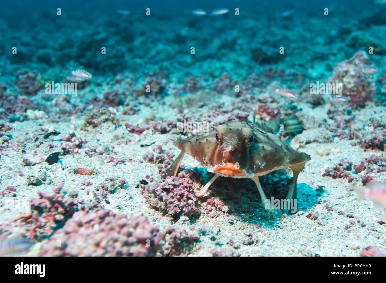 Bat fish, Cocos Island, Costa Rica, East Pacific Ocean - Stock Image