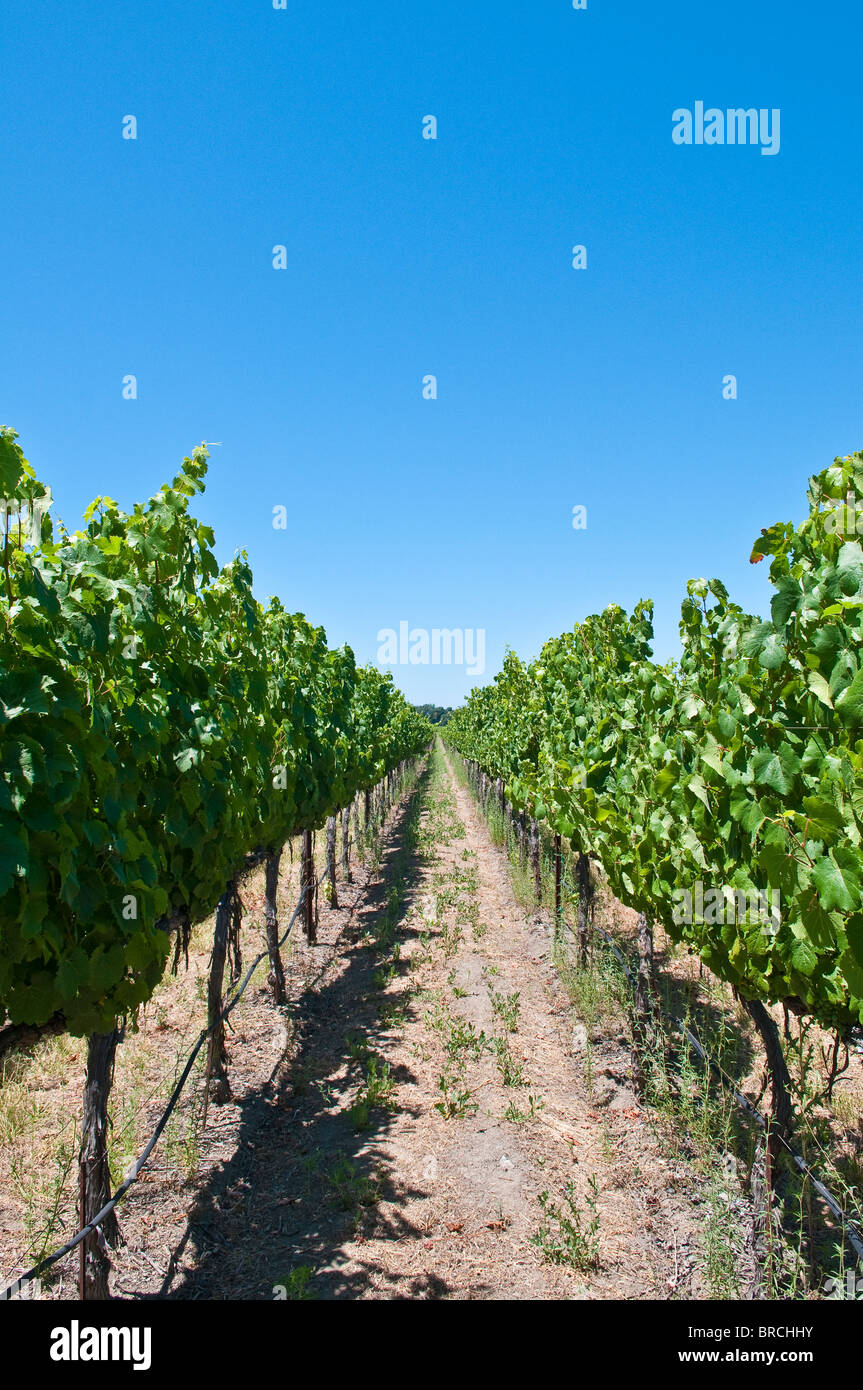 Vineyards in the wine country Napa Valley, California, USA - Stock Image