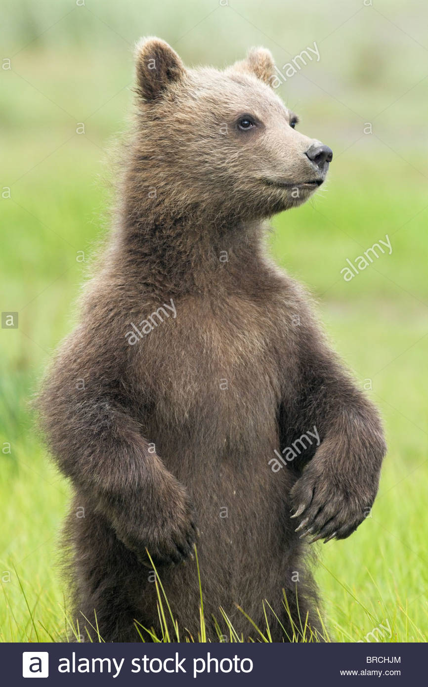 Grizzly Bear Cub Standing in Meadow, Lake Clark National Park, Alaska - Stock Image
