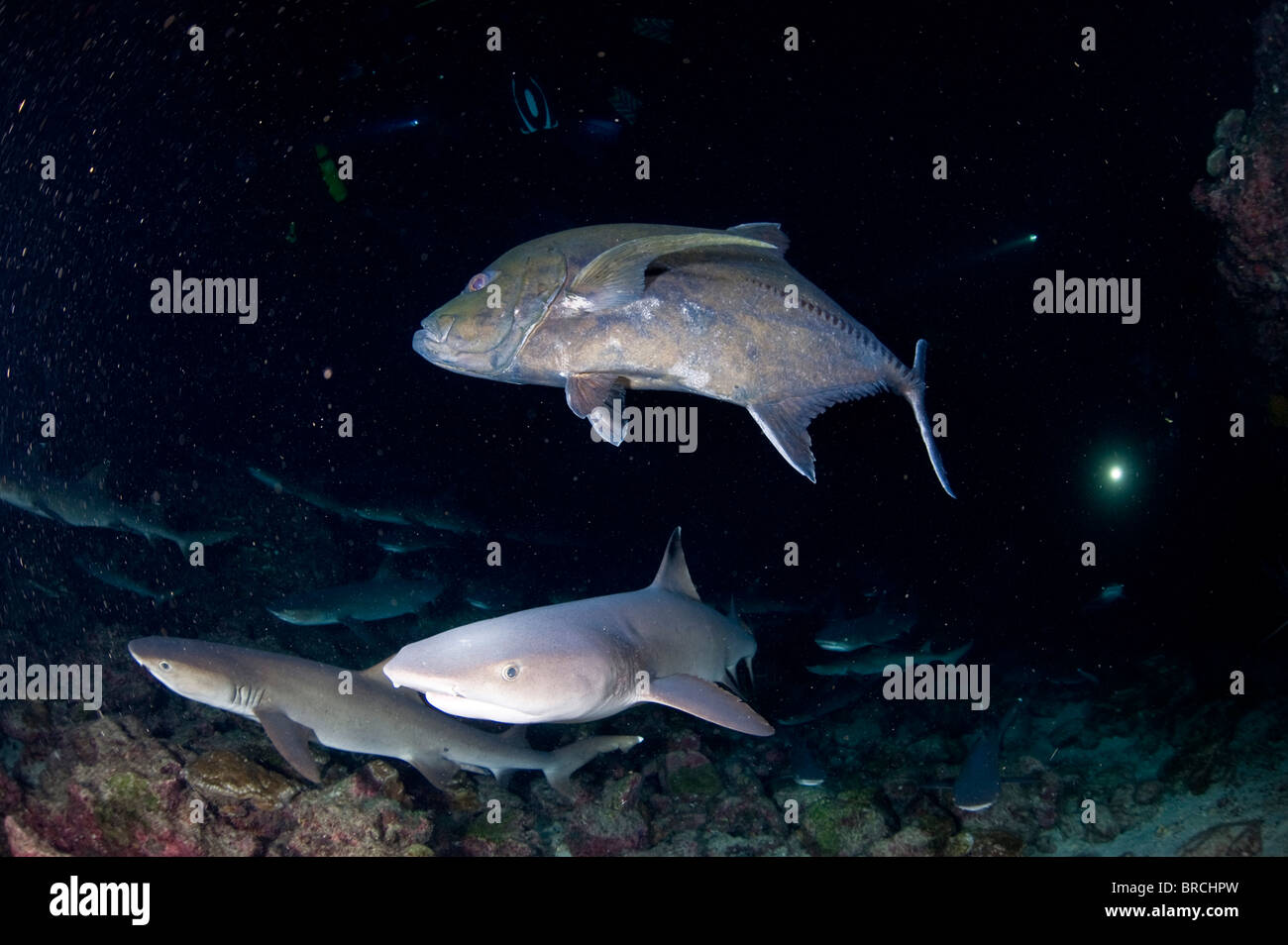 Giant trevally and white tip reef shark hunting in the night,Manuelita,Cocos Island,Costa Rica, Pacific Ocean - Stock Image