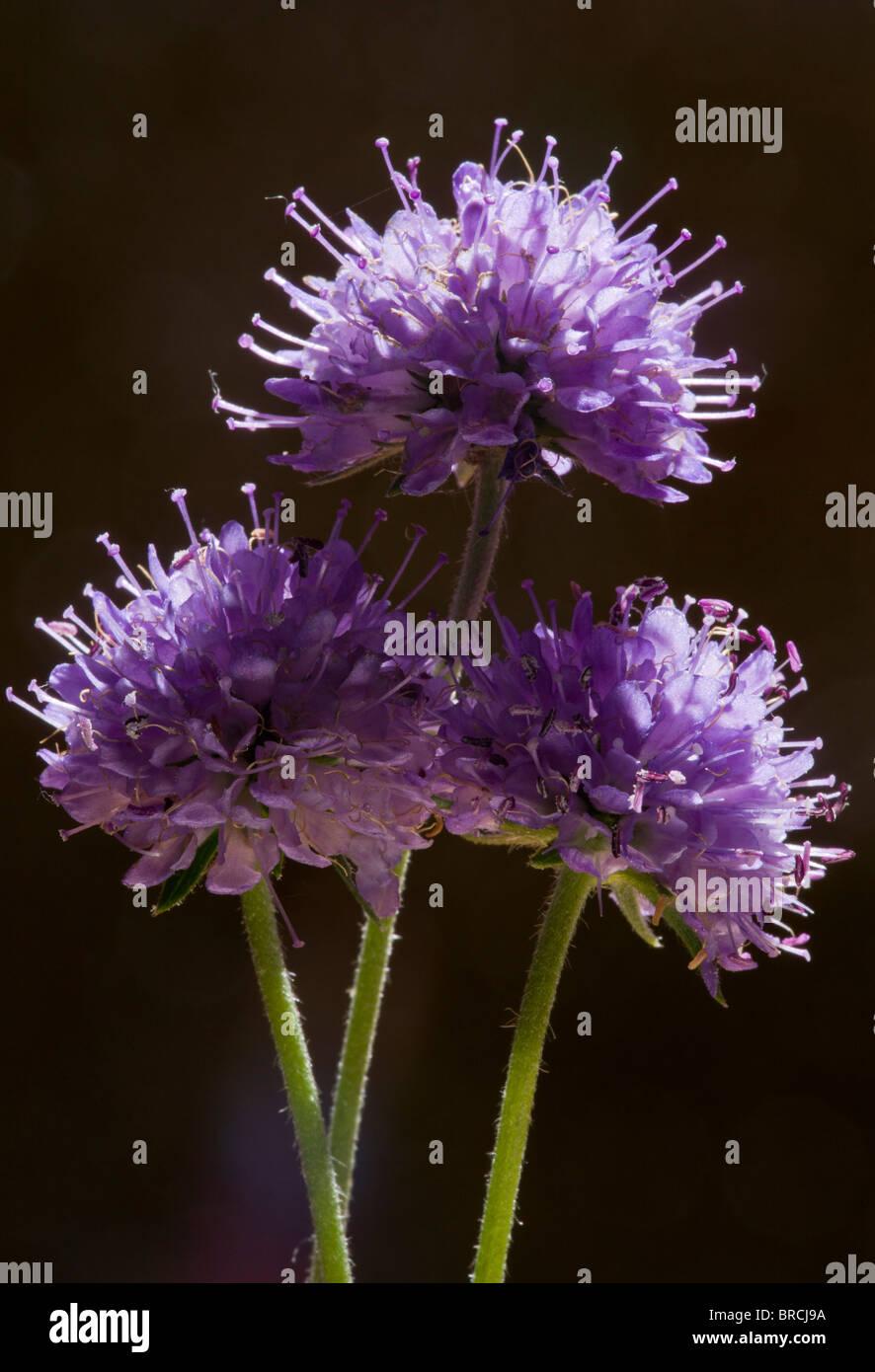 Devil's Bit or Devil's Bit Scabious, Succisa pratensis in flower, Dorset. - Stock Image