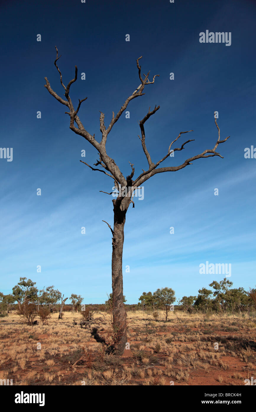 A dead wood tree standing alone in the Central Australian desert. - Stock Image