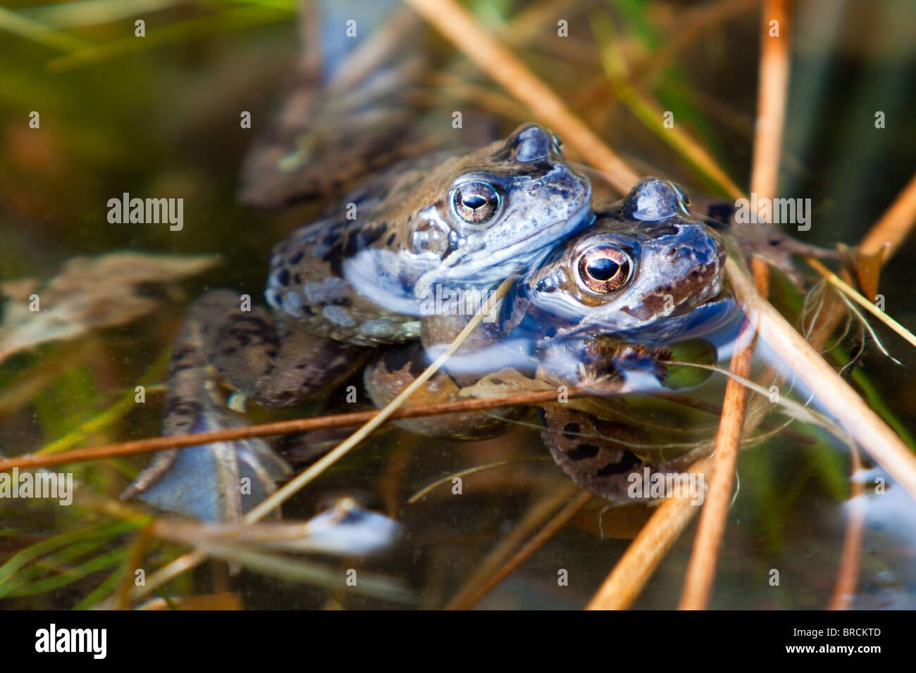 Common Frog,  Rana temporaria, spawning - Stock Image