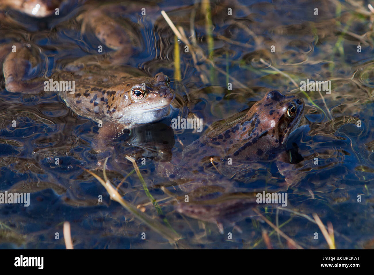 Common Frog,  Rana temporaria, spawning - Stock Image
