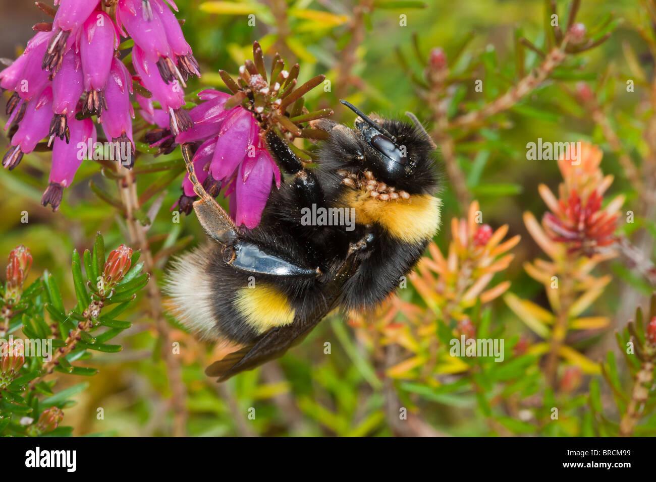 White-tailed Bumblebee, Bombus lucorum nectaring on Irish Heath variety in garden. - Stock Image