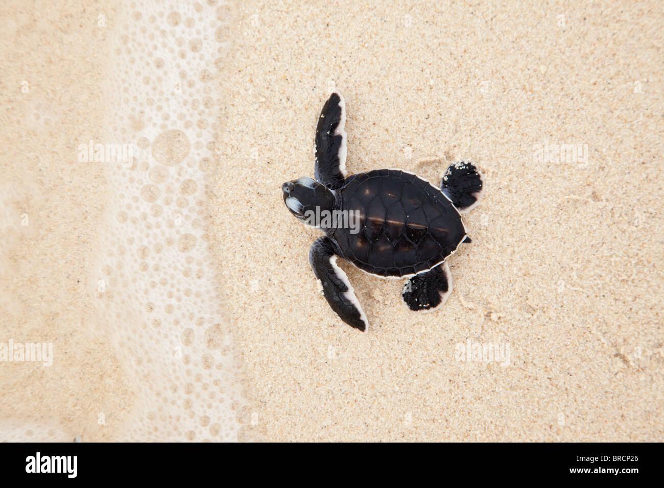 Hatchling green turtle, Chelonia mydas, making its way to the sea, Selingan Island, Sabah, Borneo - Stock Image