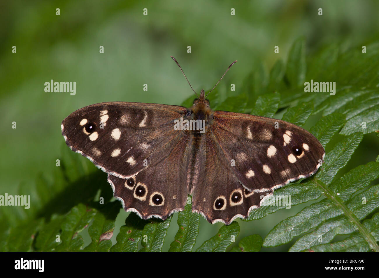 Speckled Wood butterfly, Pararge aegeria - Stock Image