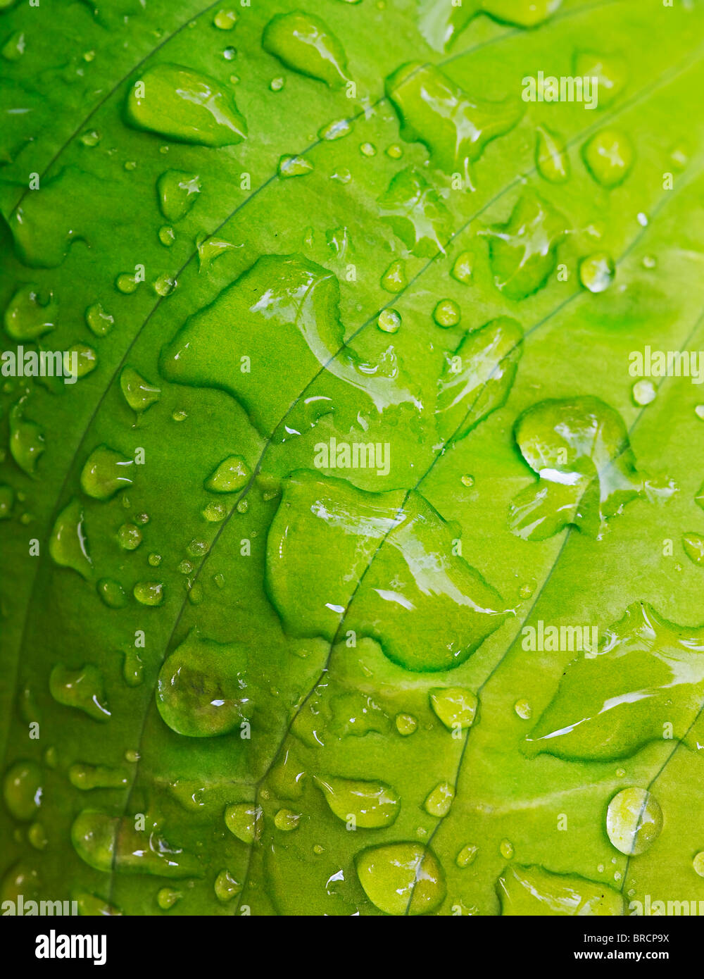green leaf covered with rain drops - Stock Image