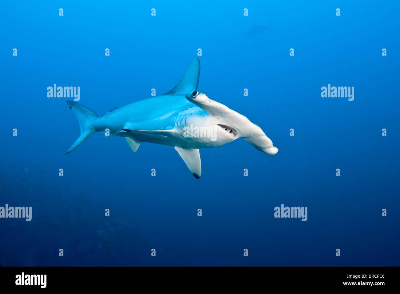scalloped hammerhead shark, Sphyrna lewini, Cocos Island, Costa Rica, East Pacific Ocean - Stock Image