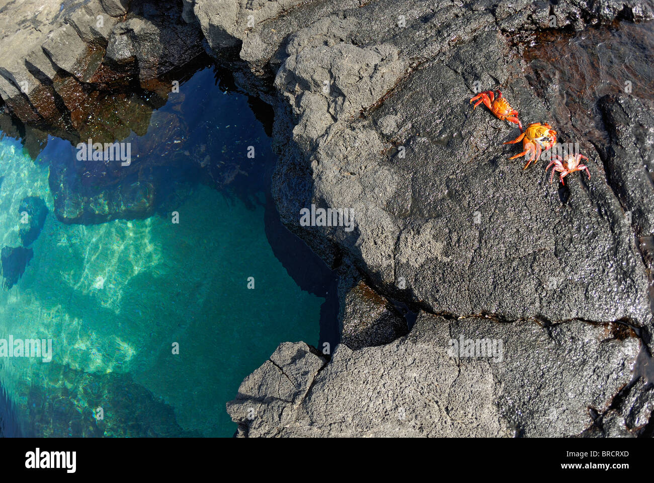 Pool of clear water and volcanic rocks with Sally Lightfoot Crabs (Grapsus grapsus) at Punta Vincente Roca, Galapagos - Stock Image