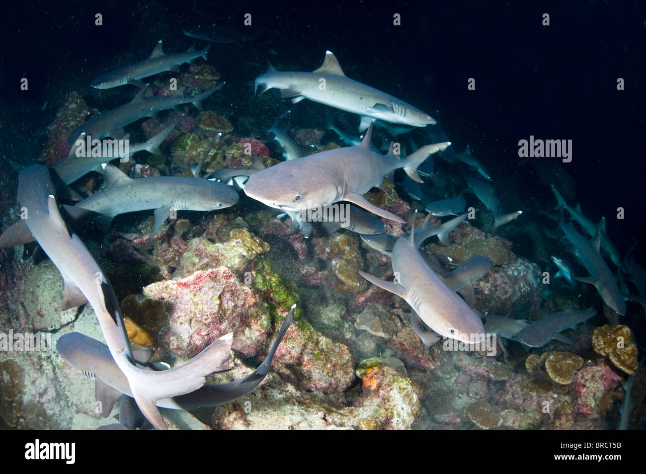 White tip reef sharks, Triaenodon obesus, hunting in the night, Cocos Islands, Pacific - Stock Image