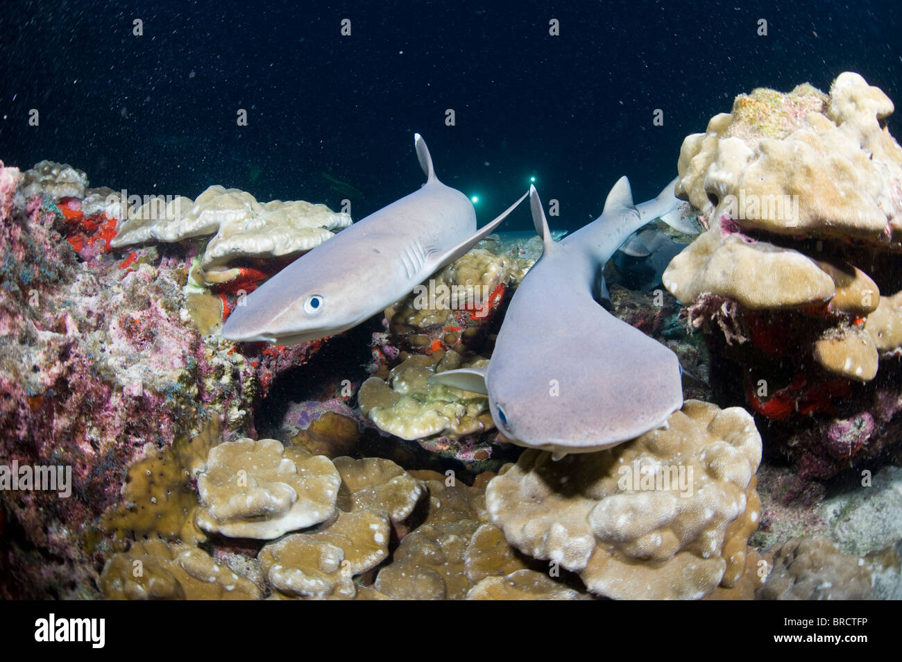 White tip reef sharks, Triaenodon obesus, Cocos Islands, Pacific - Stock Image