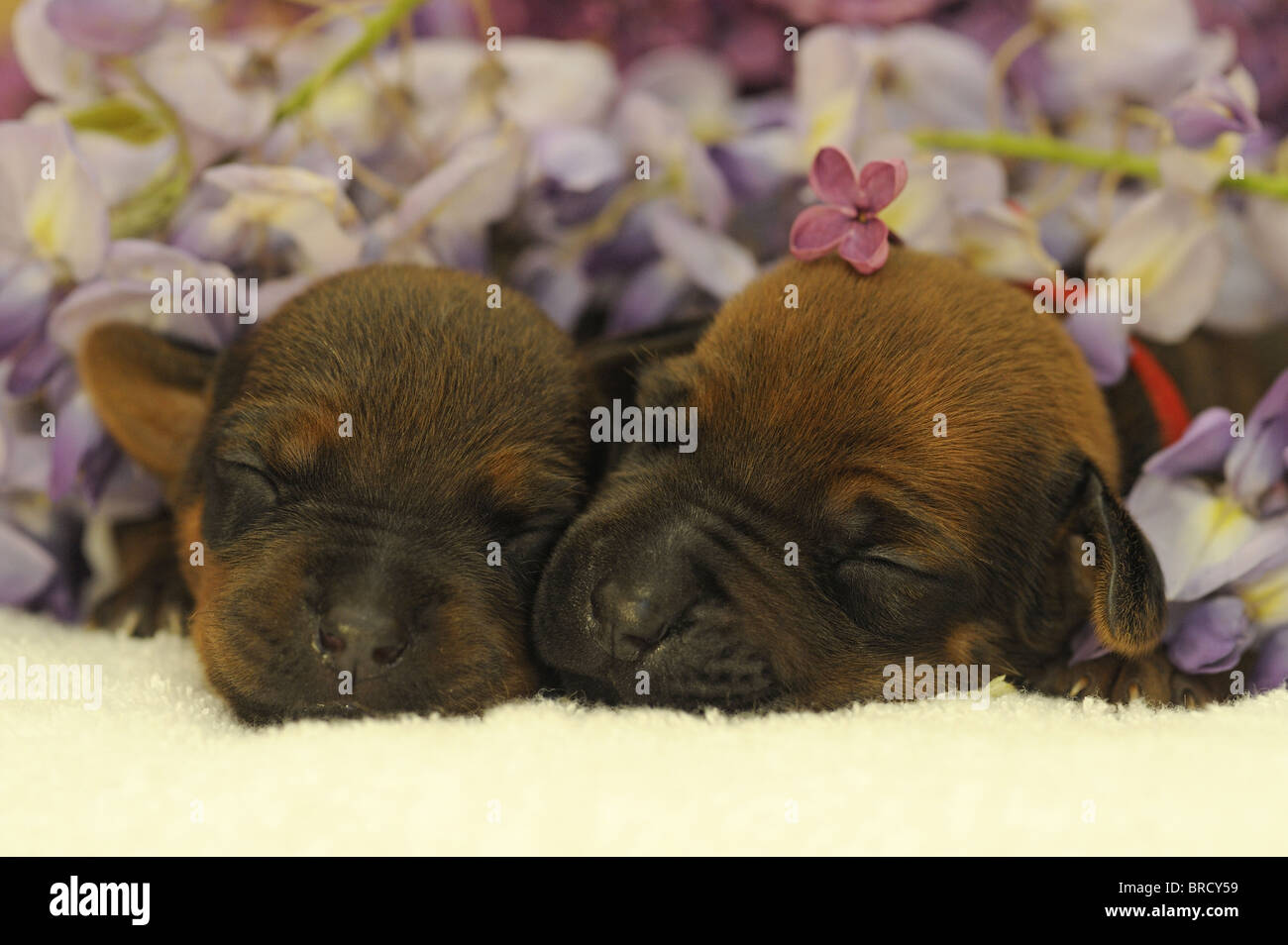 Rhodesian Ridgeback (Canis lupus familiaris). Two puppies sleeping next to Lilacflowers. - Stock Image