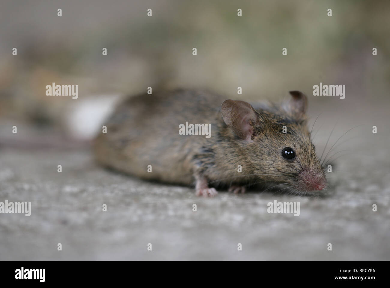 House Mouse Mus musculus Single adult portrait UK - Stock Image