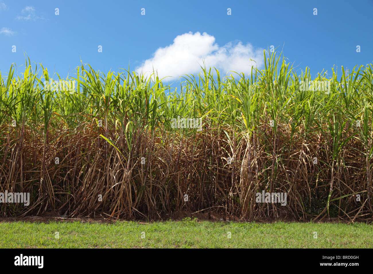 Typical sugarcane field in Eastern Australia. - Stock Image
