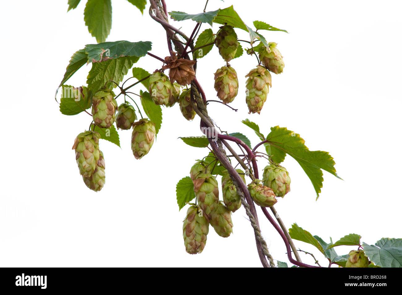 Hops Humulus lupulus, Kent, UK - Stock Image