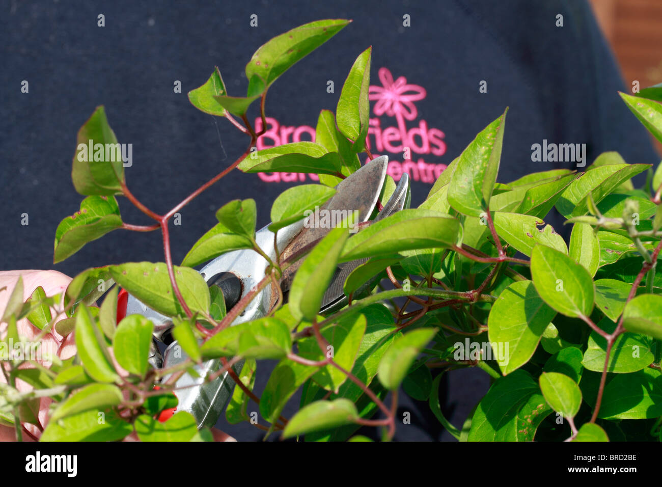 Using secateurs to trim unwanted and dead growth winter jasmine using secateurs to trim unwanted and dead growth winter jasmine jasminum nudiflorum izmirmasajfo