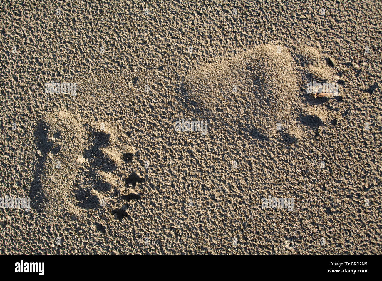 Brown bear tracks in sand, Hinchinbrook Island, Prince William Sound, Chugach Mountains, Chugach National Forest, - Stock Image