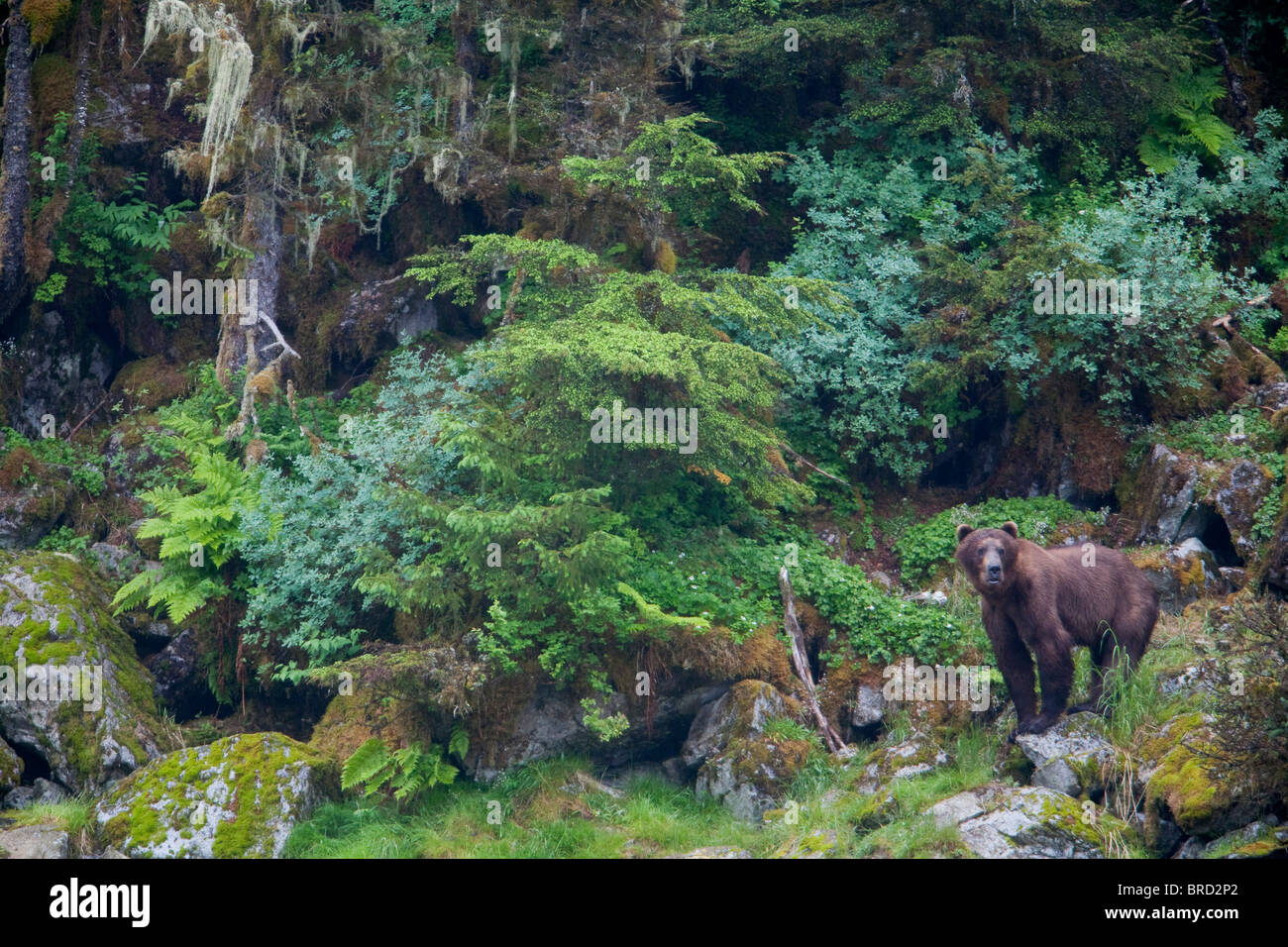 View of a Brown bear standing in lush rainforest, Prince William Sound, Chugach Mountains, Chugach National Forest, - Stock Image