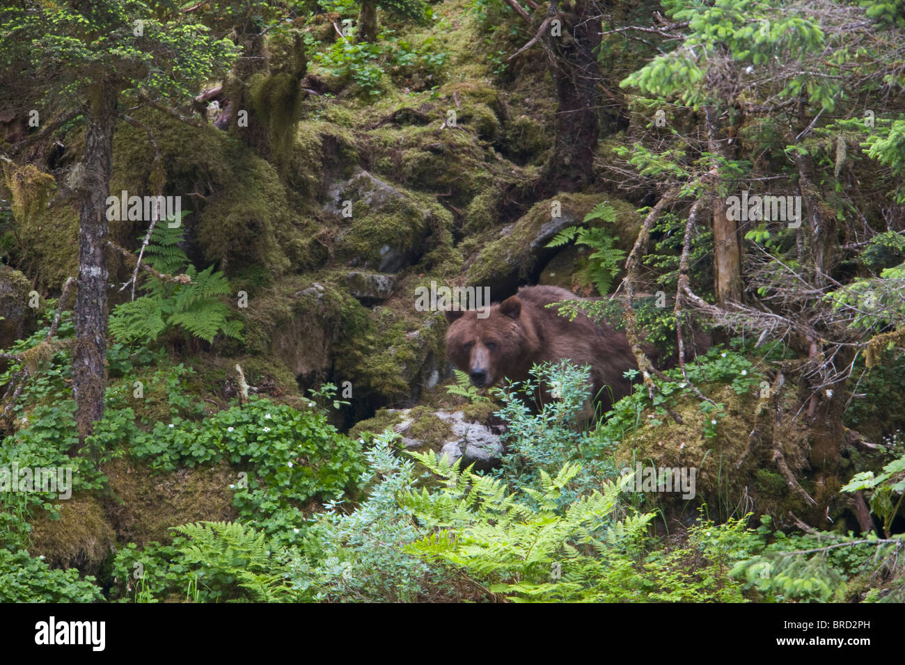 Brown bear standing partially hidden in a lush green rainforest, Prince William Sound, Chugach National Forest, - Stock Image