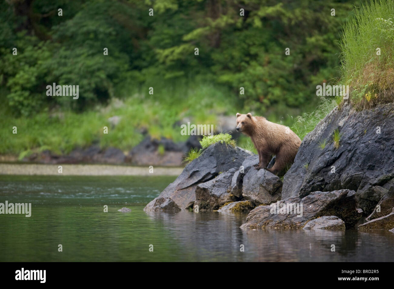 Brown Bear watches for salmon in a stream near Prince William Sound, Chugach Mountains, Chugach National Forest, - Stock Image