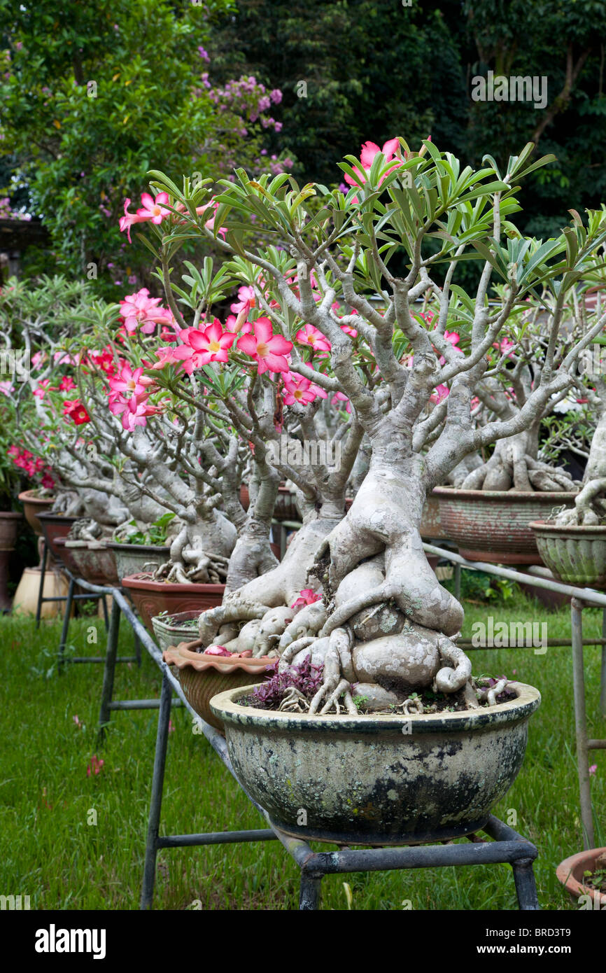 Desert Rose, Adenium obesum, growing as potted plants, Borneo - Stock Image